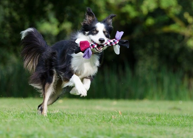 border-collie-playing-fetch